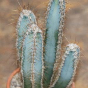 Piptanthocereus