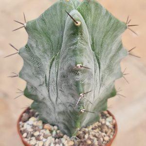 Lamairocereus