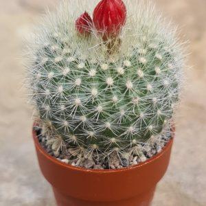 Brasilicactus